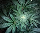 cannabis-313051_640